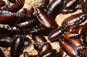 Roaches don't travel alone. If you have seen a cockroach, you can be certain there are more hiding close-by. Give us a call today to resolve your cockroach issue.